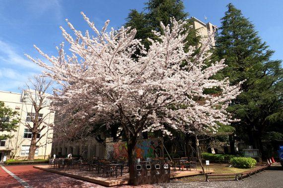 青山キャンパスの桜をお贈りいたします ~360度カメラ動画と魔法?の動画~